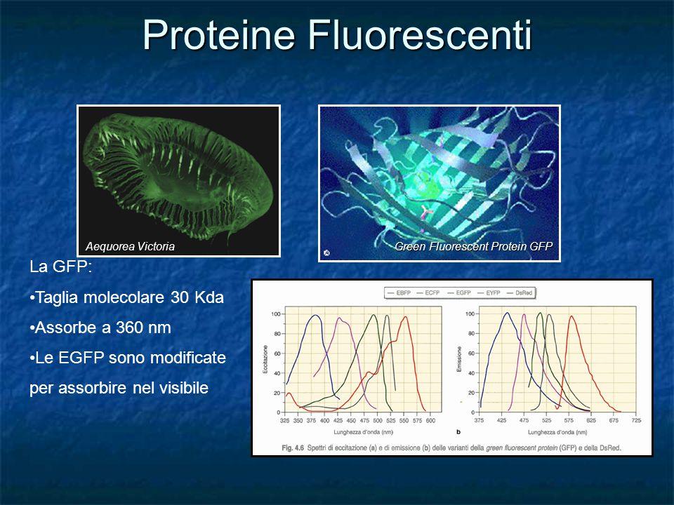 Proteine Fluorescenti Aequorea Victoria Green Fluorescent Protein GFP La GFP: Taglia molecolare 30 Kda Assorbe a 360 nm Le EGFP sono modificate per as