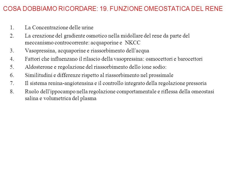 COSA DOBBIAMO RICORDARE: 19. FUNZIONE OMEOSTATICA DEL RENE 1.La Concentrazione delle urine 2.La creazione del gradiente osmotico nella midollare del r