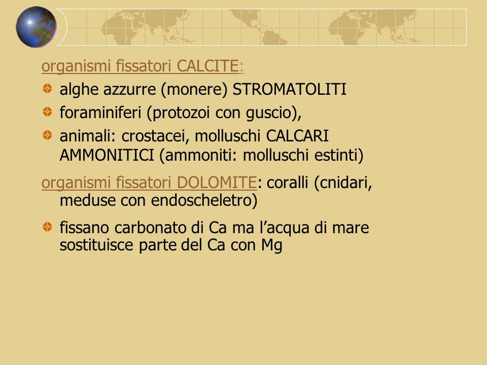 organismi fissatori CALCITE: alghe azzurre (monere) STROMATOLITI foraminiferi (protozoi con guscio), animali: crostacei, molluschi CALCARI AMMONITICI