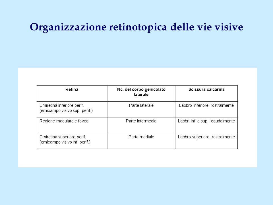 Organizzazione retinotopica delle vie visive RetinaNc. del corpo genicolato laterale Scissura calcarina Emiretina inferiore perif. (emicampo visivo su