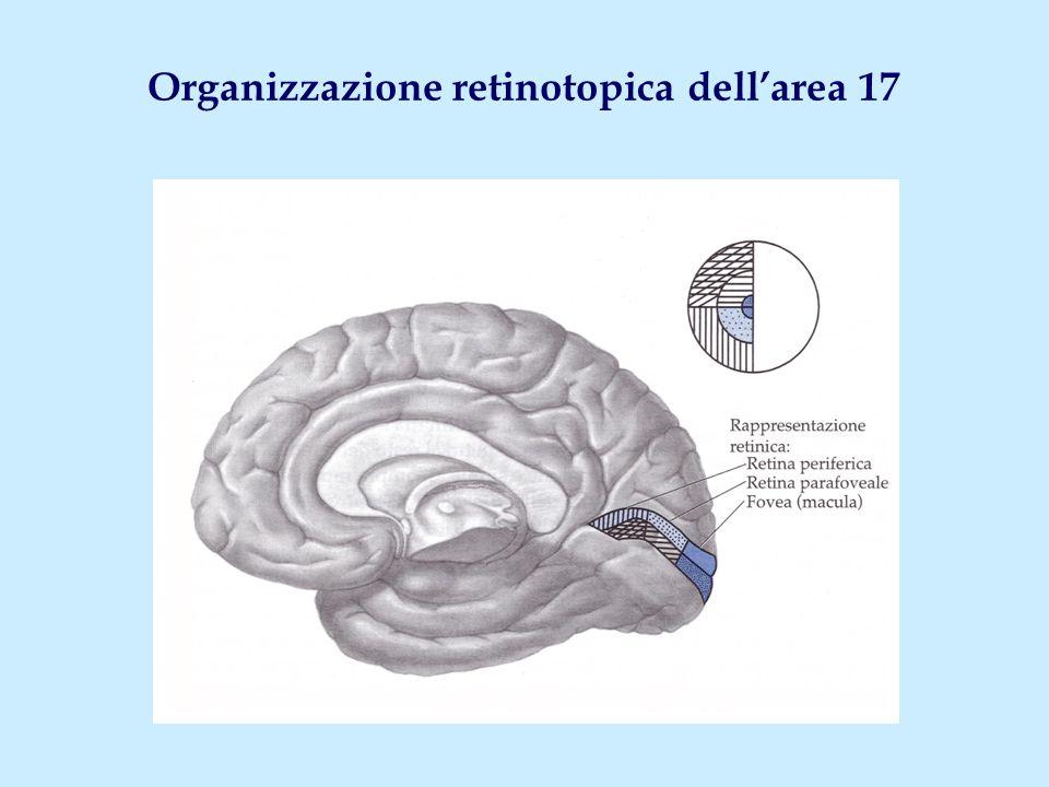 Organizzazione retinotopica dell'area 17