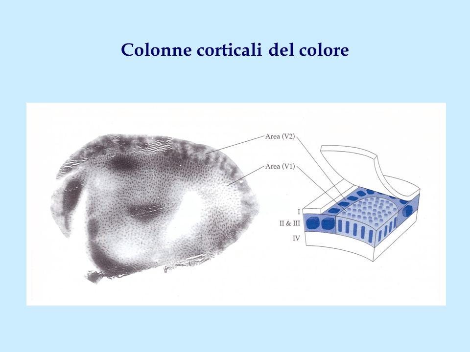 Colonne corticali del colore