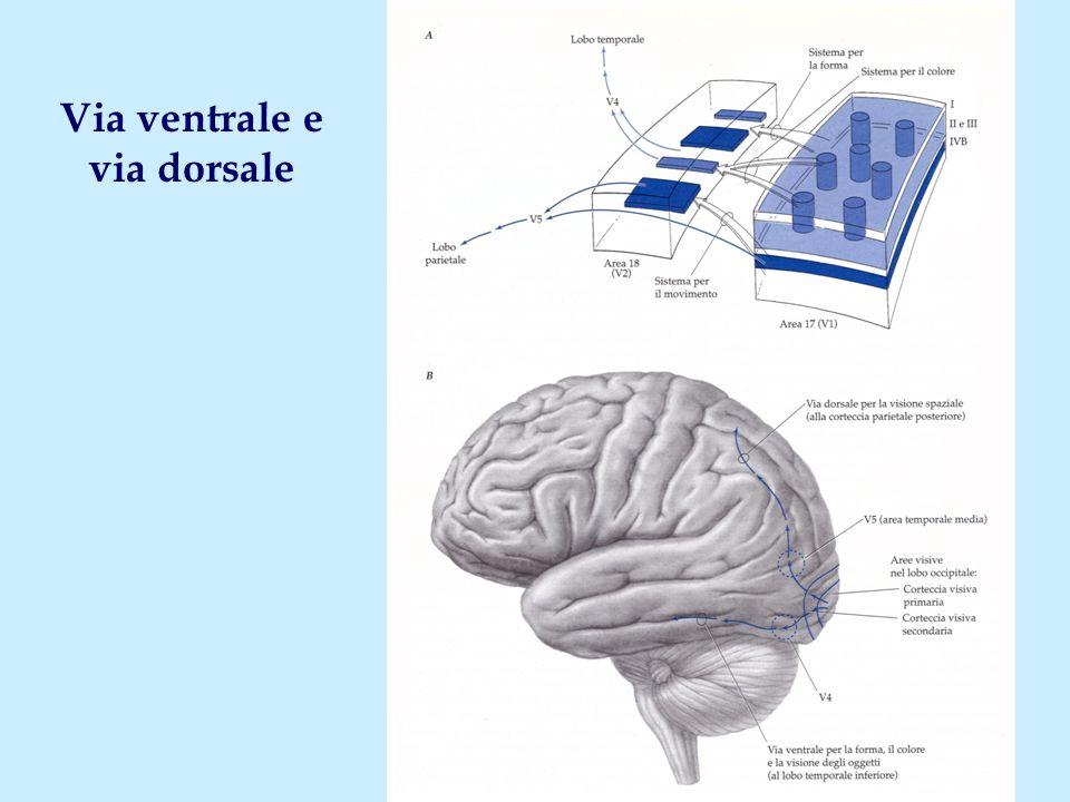 Via ventrale e via dorsale