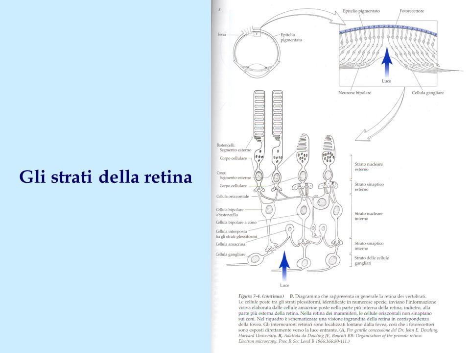 Gli strati della retina