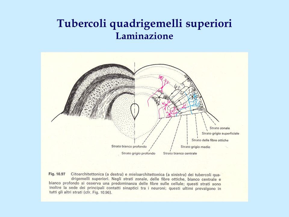 Tubercoli quadrigemelli superiori Laminazione