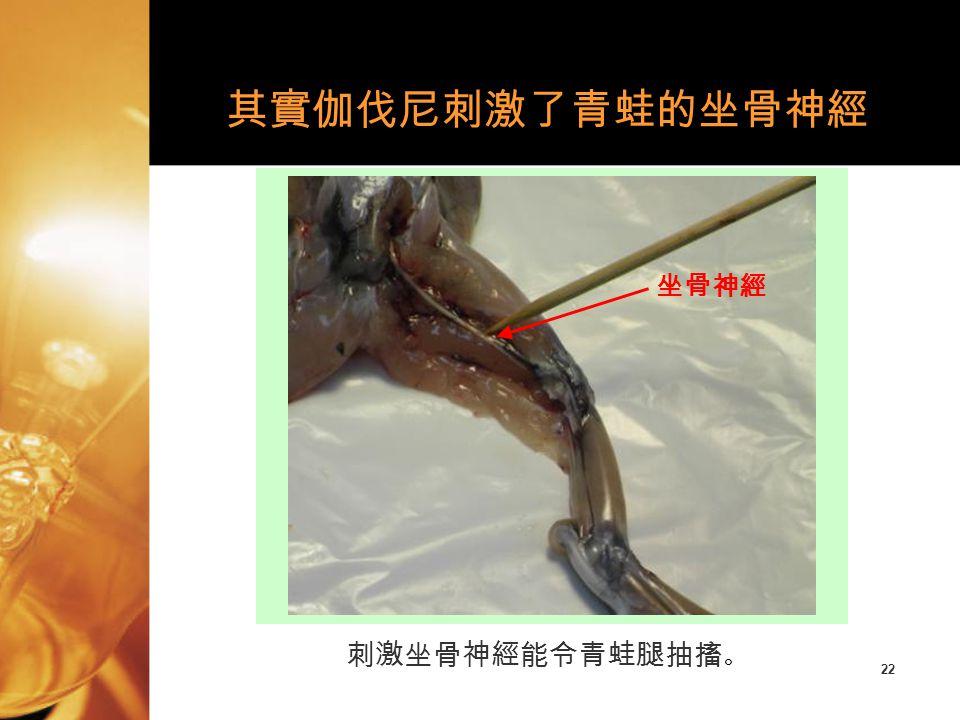 22 刺激坐骨神經能令青蛙腿抽搐 。 其實伽伐尼刺激了青蛙的坐骨神經 坐骨神經