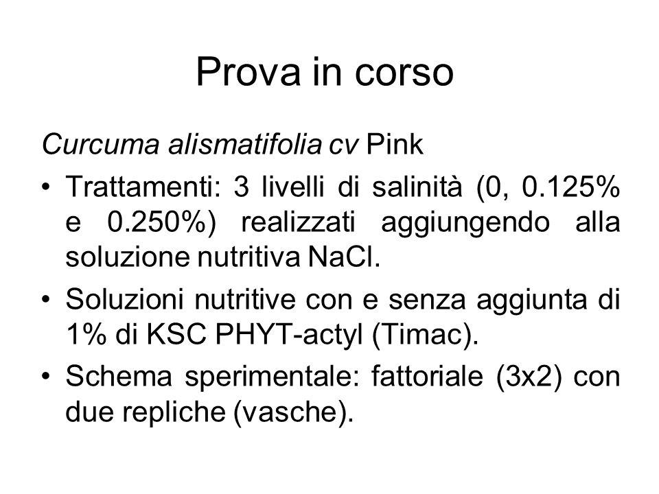 Prova in corso Curcuma alismatifolia cv Pink Trattamenti: 3 livelli di salinità (0, 0.125% e 0.250%) realizzati aggiungendo alla soluzione nutritiva N