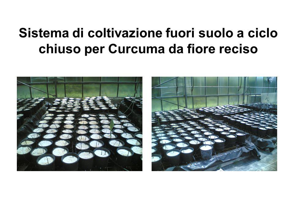Sistema di coltivazione fuori suolo a ciclo chiuso per Curcuma da fiore reciso