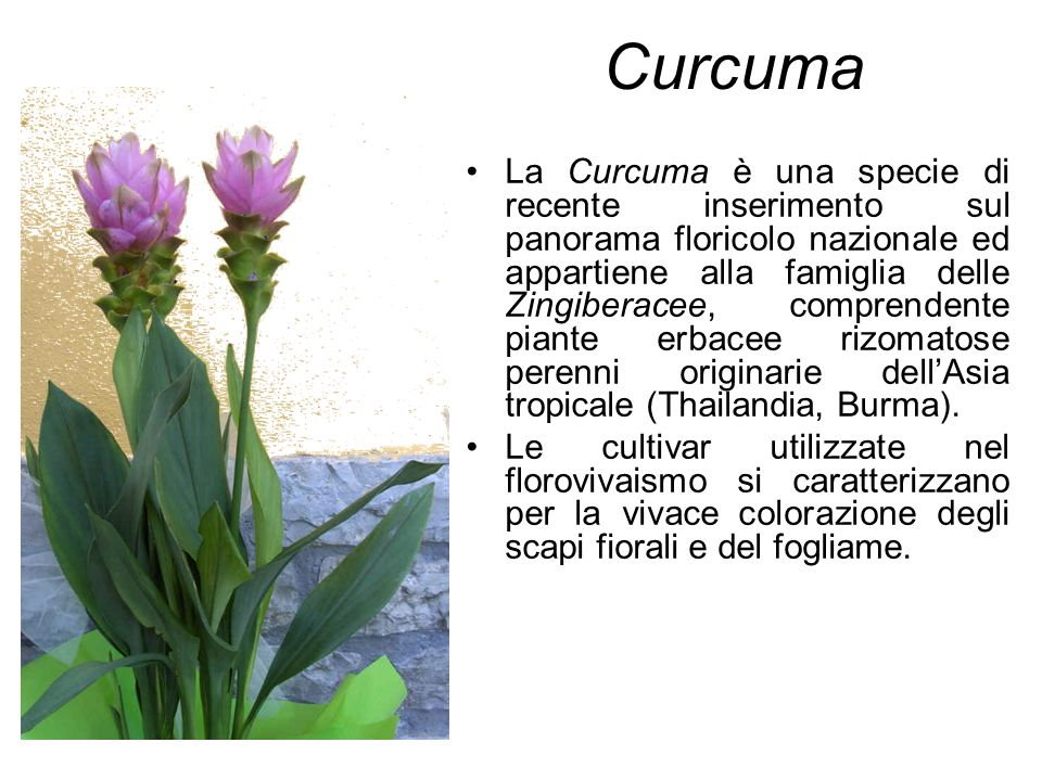 Curcuma La Curcuma è una specie di recente inserimento sul panorama floricolo nazionale ed appartiene alla famiglia delle Zingiberacee, comprendente p