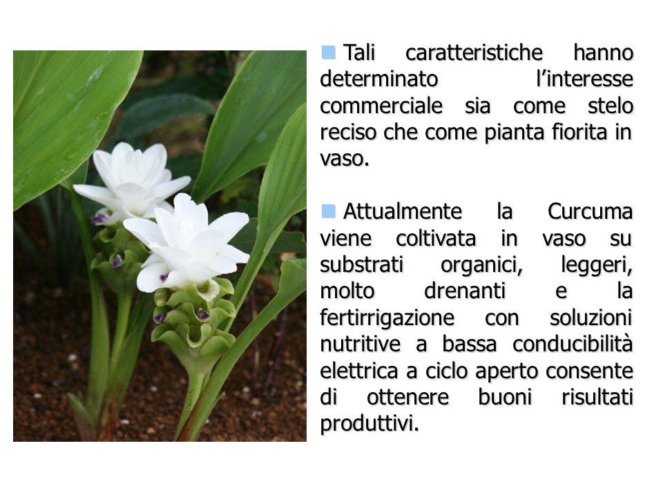 Produzione CultivarN° steli/m 2 N° rizomi/m 2 Pink157.530.0 White135.037.5 Coltivazione in vaso a ciclo aperto Produzione steli/m 2 (media di due anni): Pink = 80 steli/m 2 White = 35 steli/m 2
