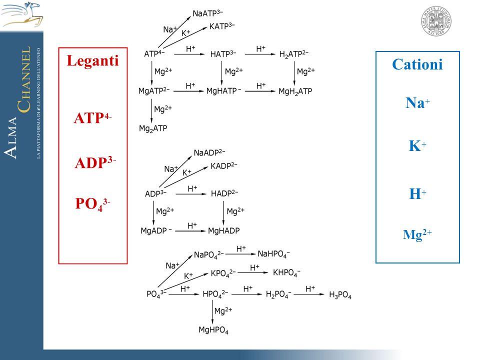 Leganti ATP 4- ADP 3- PO 4 3- Cationi Na + K + H + Mg 2+