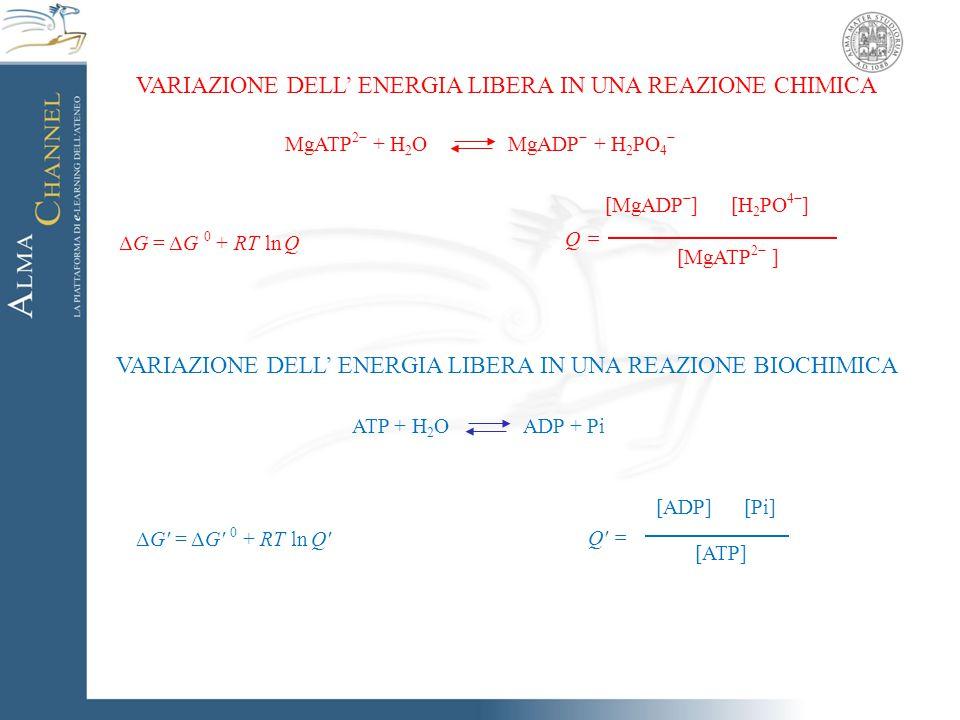 VARIAZIONE DELL' ENERGIA LIBERA IN UNA REAZIONE CHIMICA ΔG = ΔG 0 + RT ln Q MgATP 2− + H 2 O MgADP − + H 2 PO 4 − [MgATP 2− ] Q = [MgADP − ] [H 2 PO 4