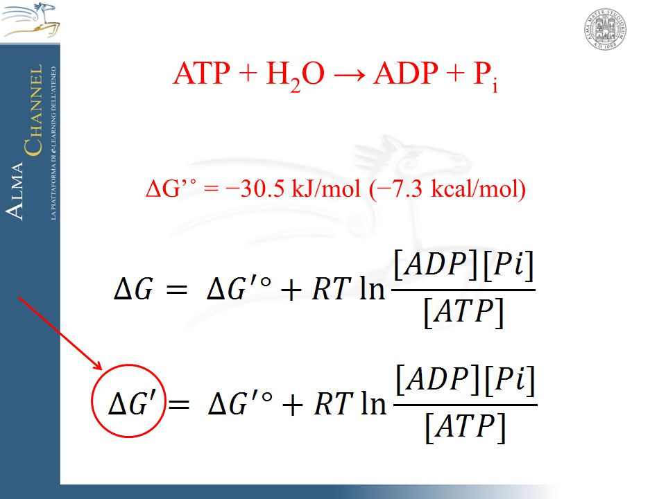 ATP + H 2 O → ADP + P i ΔG'˚ = −30.5 kJ/mol (−7.3 kcal/mol)