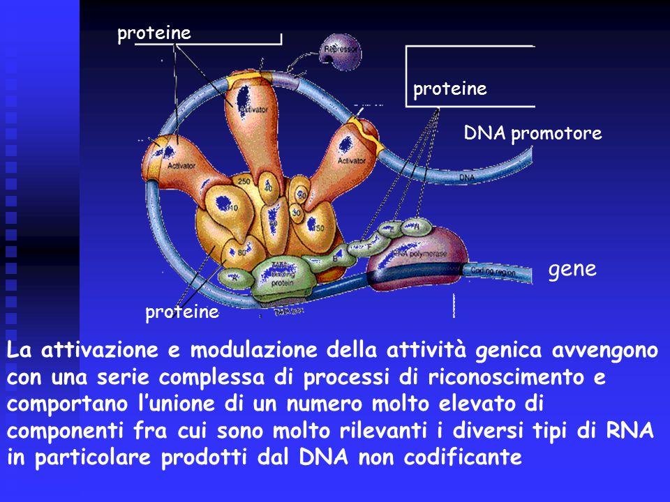 proteine DNA promotore gene proteine La attivazione e modulazione della attività genica avvengono con una serie complessa di processi di riconoscimento e comportano l'unione di un numero molto elevato di componenti fra cui sono molto rilevanti i diversi tipi di RNA in particolare prodotti dal DNA non codificante