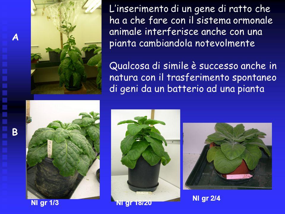 Nl gr 1/3 Nl gr 2/4 Nl gr 18/20 A B L'inserimento di un gene di ratto che ha a che fare con il sistema ormonale animale interferisce anche con una pianta cambiandola notevolmente Qualcosa di simile è successo anche in natura con il trasferimento spontaneo di geni da un batterio ad una pianta