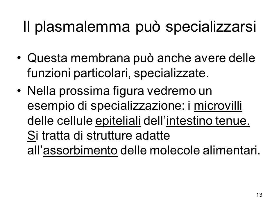 13 Il plasmalemma può specializzarsi Questa membrana può anche avere delle funzioni particolari, specializzate. Nella prossima figura vedremo un esemp