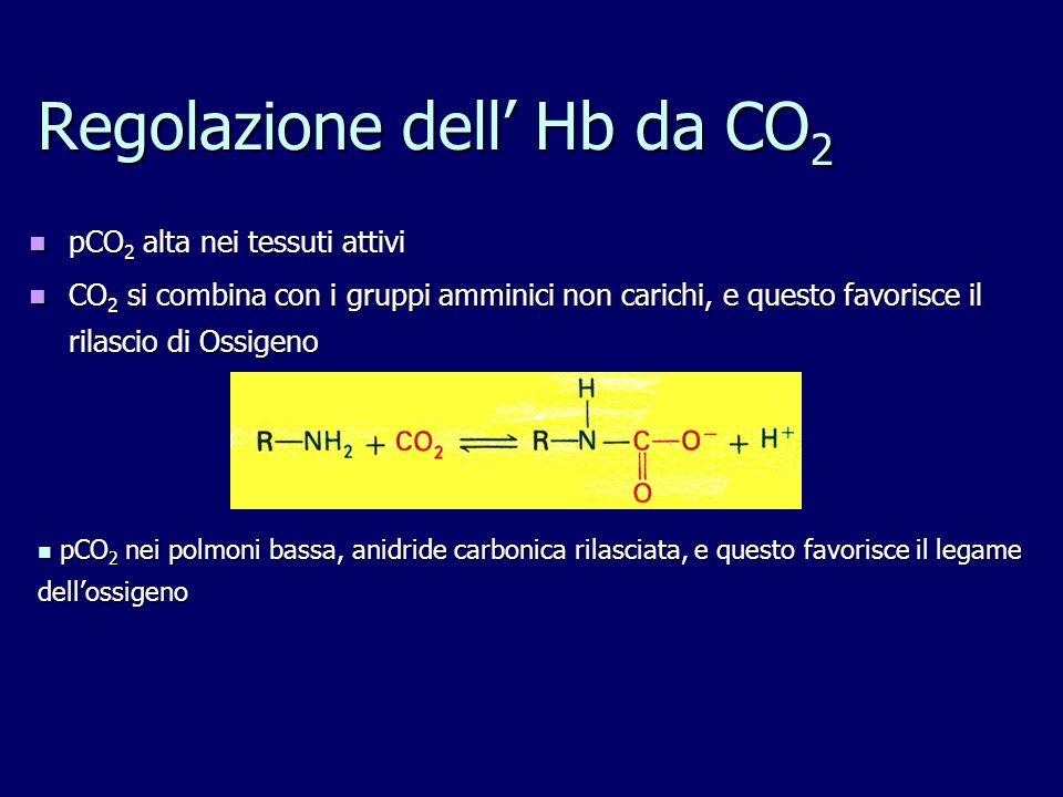Regolazione dell' Hb da CO 2 pCO 2 alta nei tessuti attivi pCO 2 alta nei tessuti attivi CO 2 si combina con i gruppi amminici non carichi, e questo f