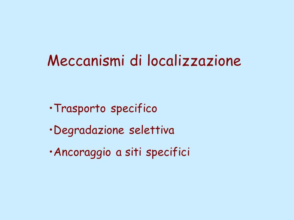 Meccanismi di localizzazione Trasporto specifico Degradazione selettiva Ancoraggio a siti specifici