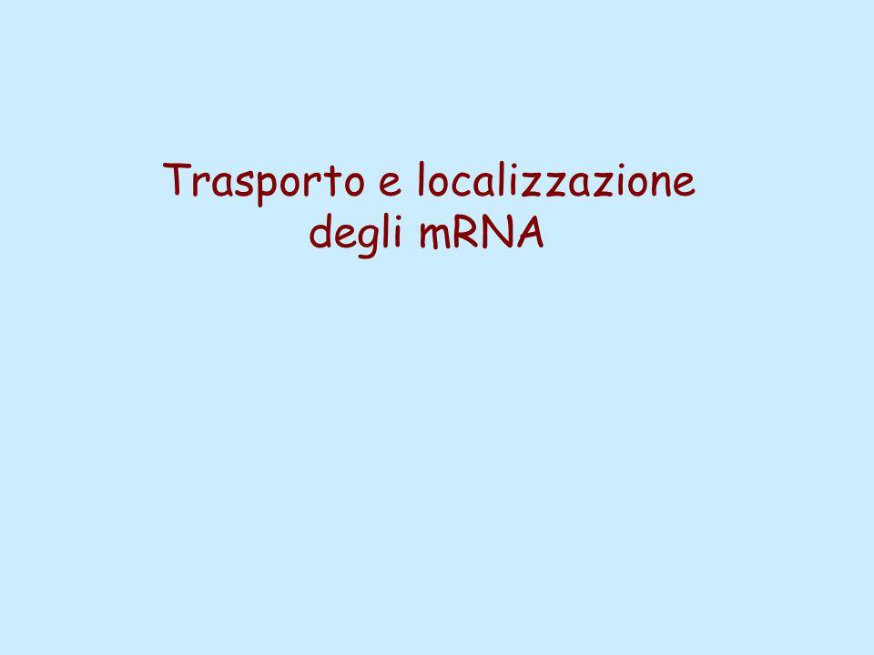 Trasporto e localizzazione degli mRNA