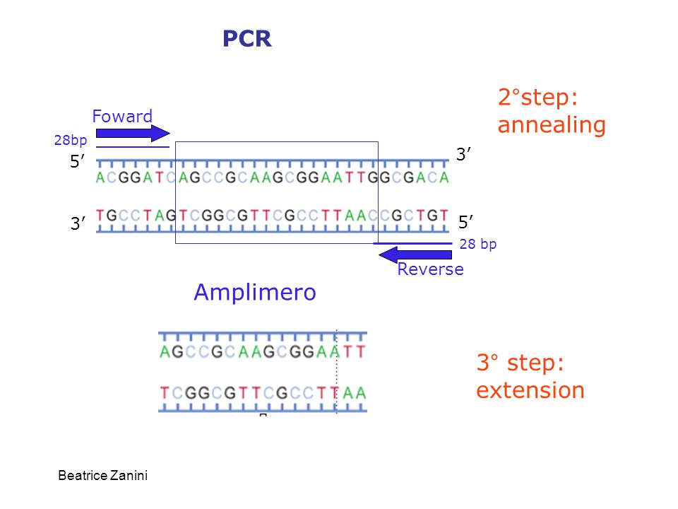 Beatrice Zanini 5' 3' 5' 3' Foward Reverse 28 bp Amplimero 2°step: annealing 3° step: extension PCR