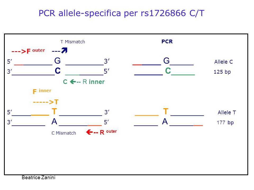 Beatrice Zanini PCR allele-specifica per rs1726866 C/T T Mismatch PCR --->F outer ---  5' ________ G ________ 3' ______ G_____ Allele C 3' _________C