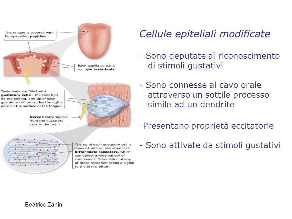 Beatrice Zanini Un'apertura alla superficie dell'epitelio il poro gustativo permette l'accesso degli stimoli chimici ai recettori localizzati sui microvilli apicali delle cellule gustative.