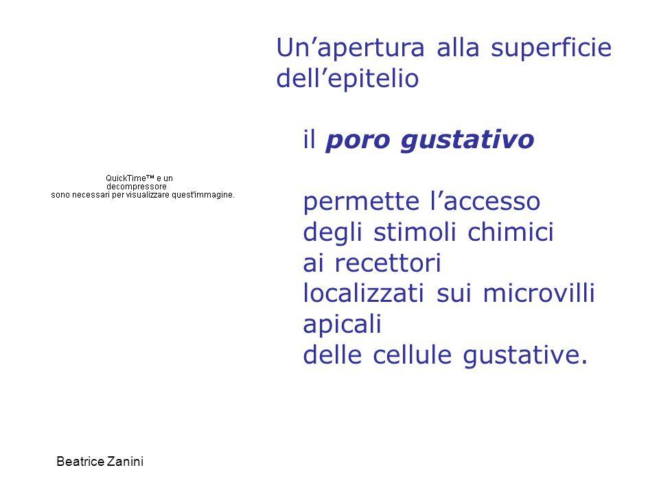 Beatrice Zanini Un'apertura alla superficie dell'epitelio il poro gustativo permette l'accesso degli stimoli chimici ai recettori localizzati sui micr