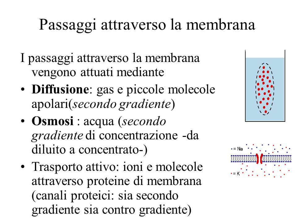 Passaggi attraverso la membrana I passaggi attraverso la membrana vengono attuati mediante Diffusione: gas e piccole molecole apolari(secondo gradient