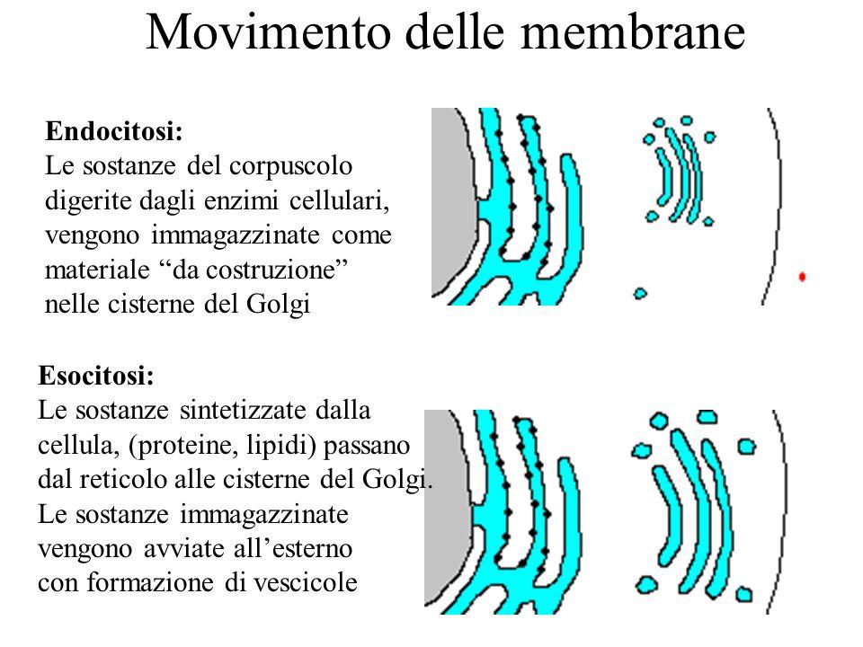 """Movimento delle membrane Endocitosi: Le sostanze del corpuscolo digerite dagli enzimi cellulari, vengono immagazzinate come materiale """"da costruzione"""""""