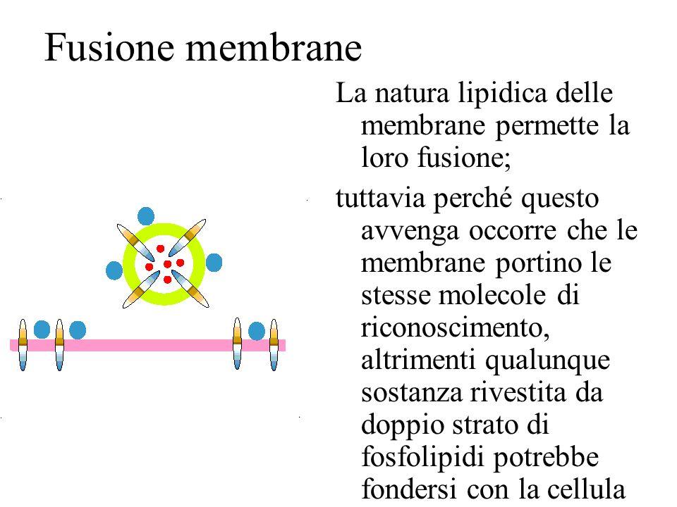 Fusione membrane La natura lipidica delle membrane permette la loro fusione; tuttavia perché questo avvenga occorre che le membrane portino le stesse