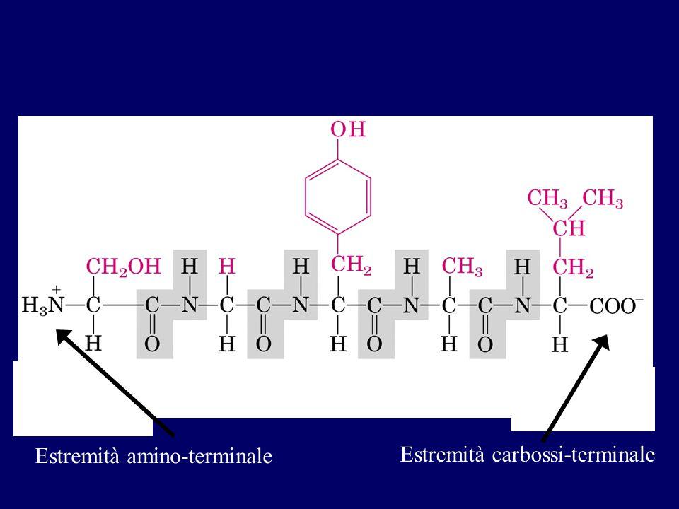 Estremità amino-terminale Estremità carbossi-terminale