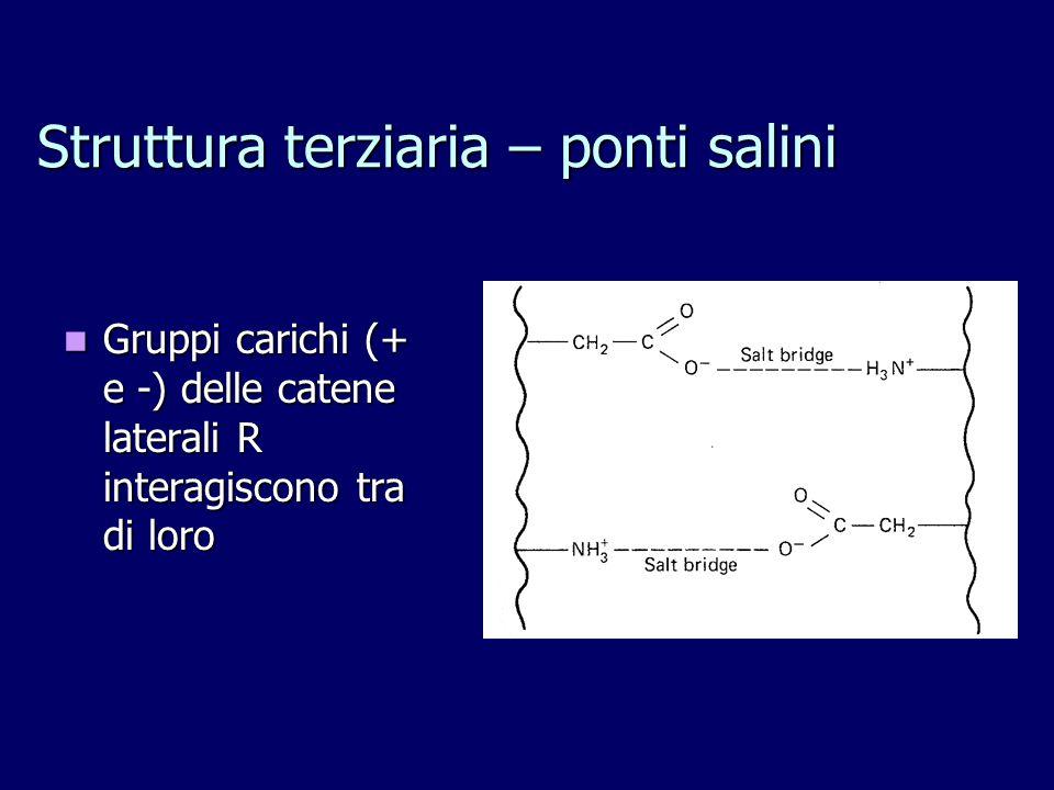Struttura terziaria – ponti salini Gruppi carichi (+ e -) delle catene laterali R interagiscono tra di loro Gruppi carichi (+ e -) delle catene laterali R interagiscono tra di loro