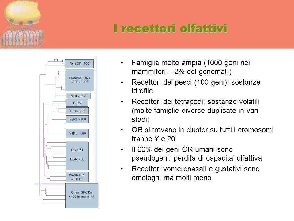 I recettori olfattivi Famiglia molto ampia (1000 geni nei mammiferi – 2% del genoma!!) Recettori dei pesci (100 geni): sostanze idrofile Recettori dei
