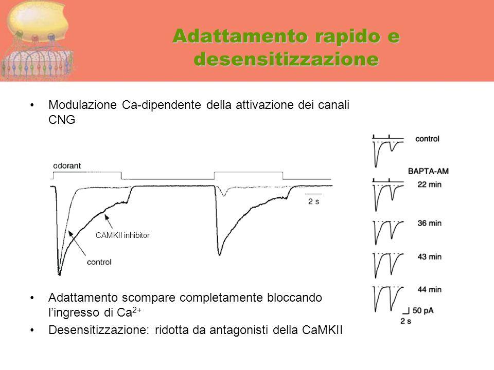 Adattamento rapido e desensitizzazione Modulazione Ca-dipendente della attivazione dei canali CNG Adattamento scompare completamente bloccando l'ingre