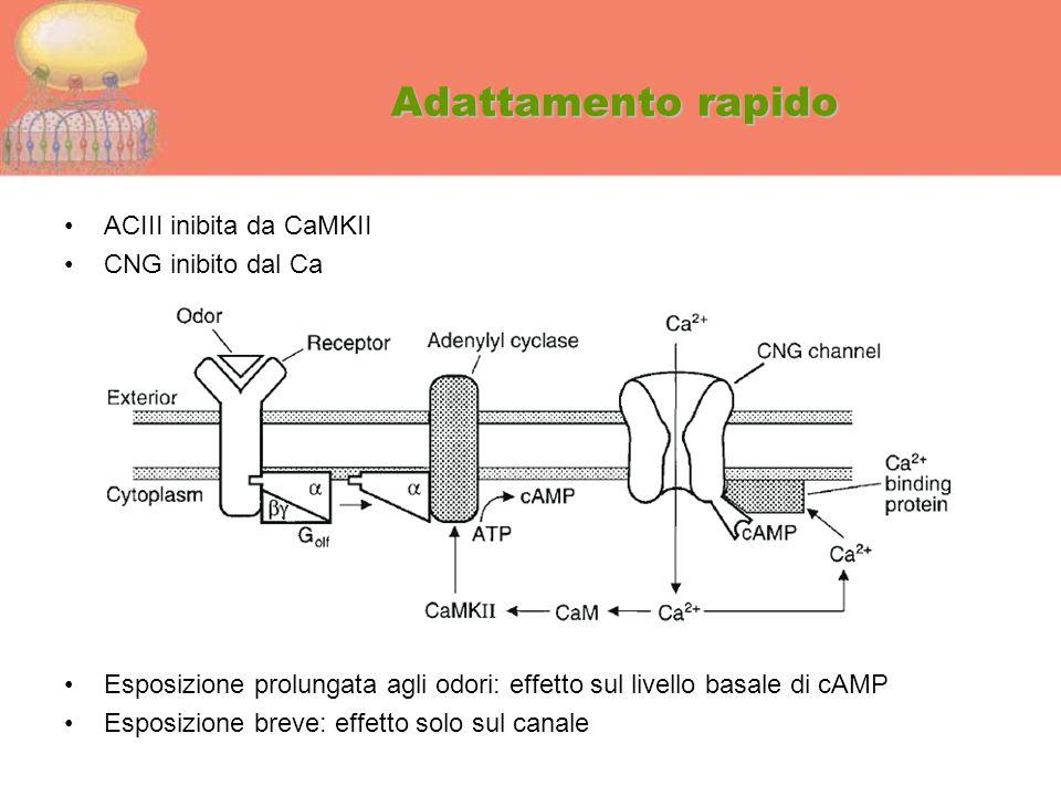 Adattamento rapido ACIII inibita da CaMKII CNG inibito dal Ca Esposizione prolungata agli odori: effetto sul livello basale di cAMP Esposizione breve: