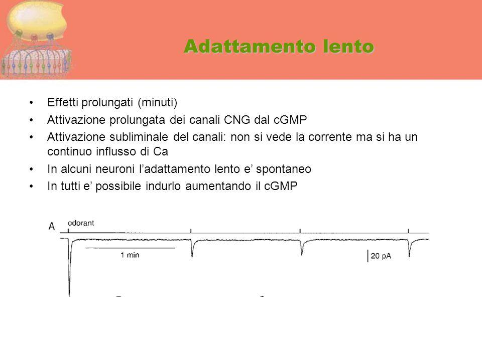 Adattamento lento Effetti prolungati (minuti) Attivazione prolungata dei canali CNG dal cGMP Attivazione subliminale del canali: non si vede la corren