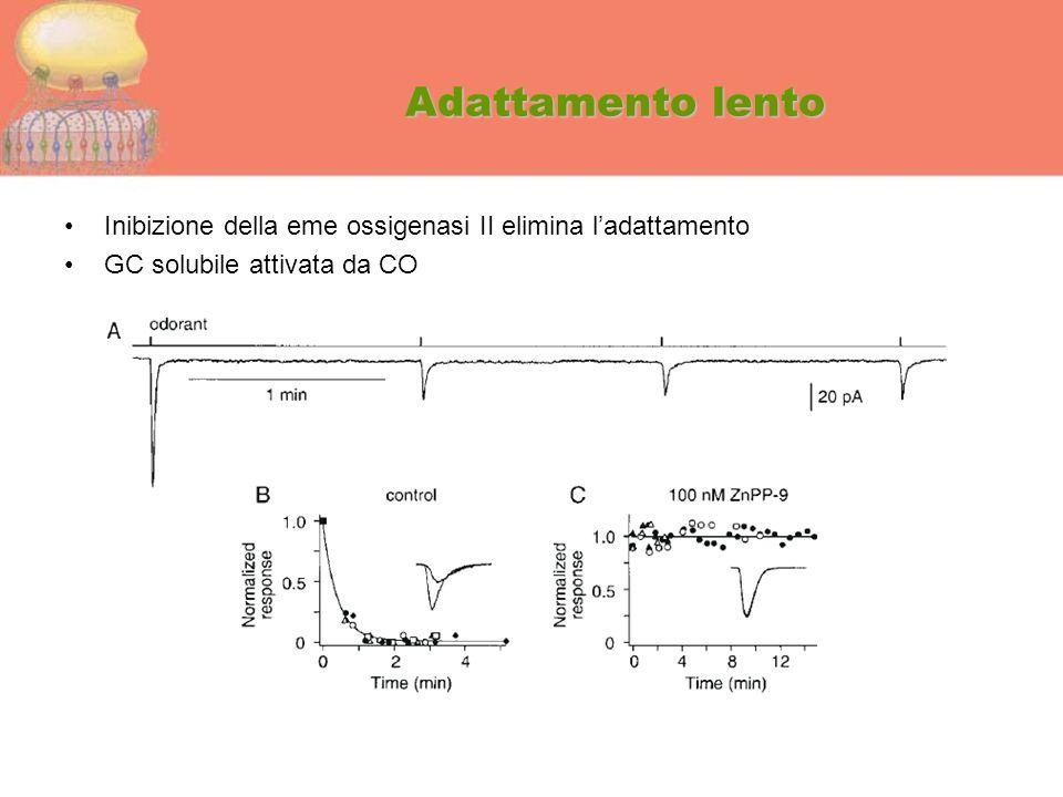 Adattamento lento Inibizione della eme ossigenasi II elimina l'adattamento GC solubile attivata da CO