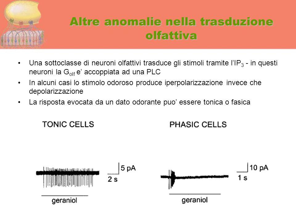 Altre anomalie nella trasduzione olfattiva Una sottoclasse di neuroni olfattivi trasduce gli stimoli tramite l'IP 3 - in questi neuroni la G olf e' ac