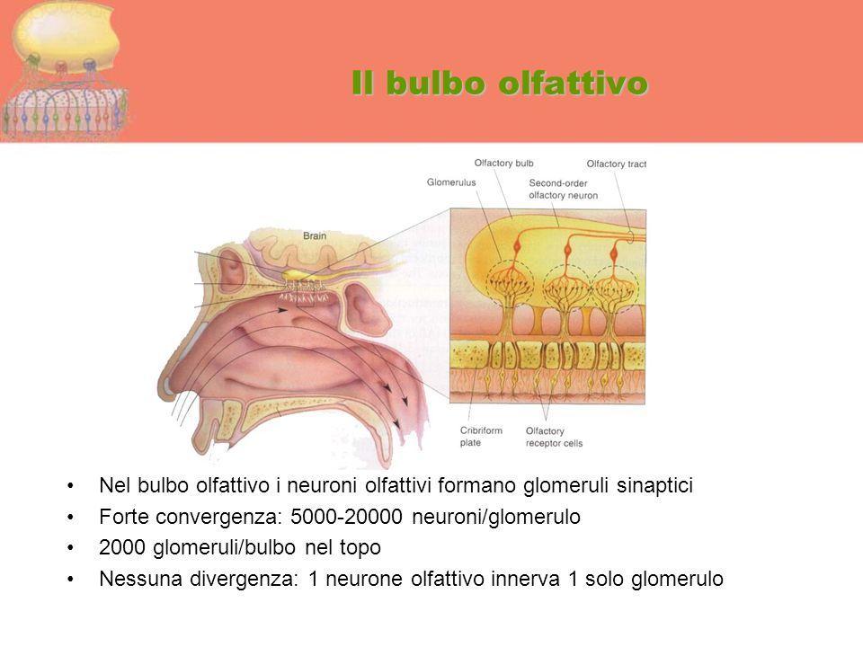 Il bulbo olfattivo Nel bulbo olfattivo i neuroni olfattivi formano glomeruli sinaptici Forte convergenza: 5000-20000 neuroni/glomerulo 2000 glomeruli/