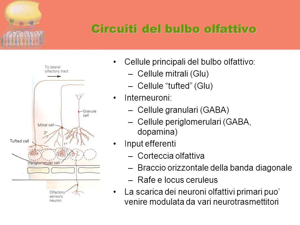 """Circuiti del bulbo olfattivo Cellule principali del bulbo olfattivo: –Cellule mitrali (Glu) –Cellule """"tufted"""" (Glu) Interneuroni: –Cellule granulari ("""