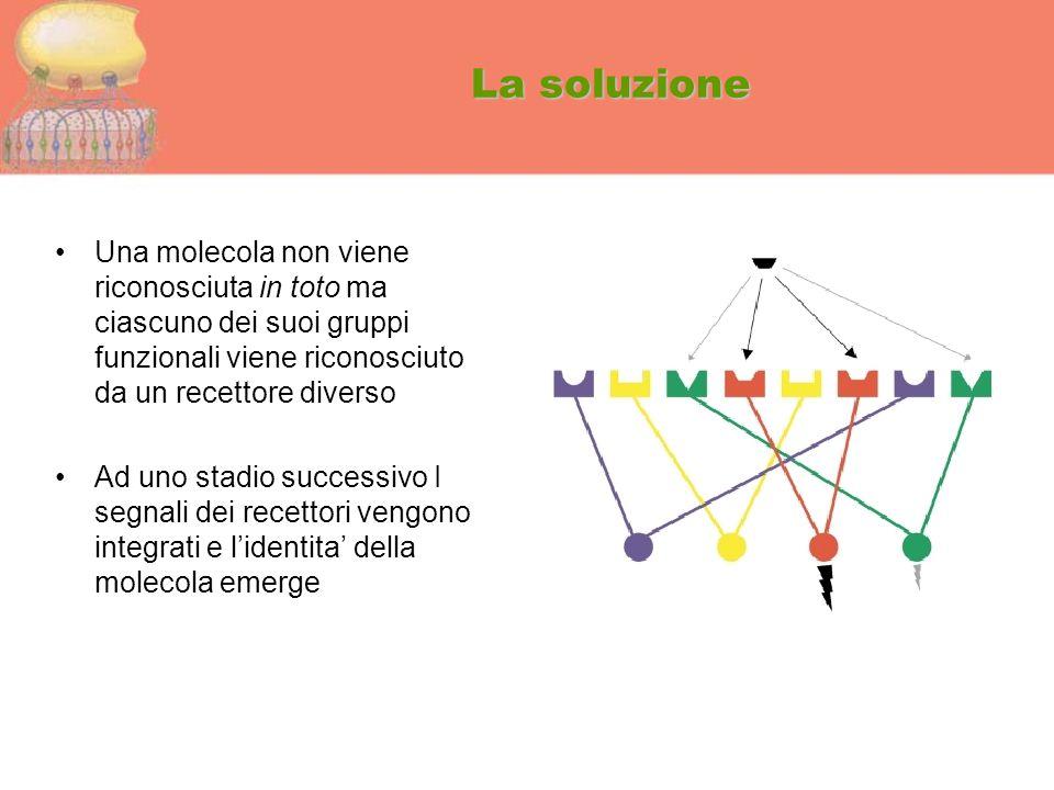La soluzione Una molecola non viene riconosciuta in toto ma ciascuno dei suoi gruppi funzionali viene riconosciuto da un recettore diverso Ad uno stad