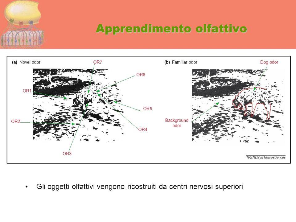 Apprendimento olfattivo Gli oggetti olfattivi vengono ricostruiti da centri nervosi superiori