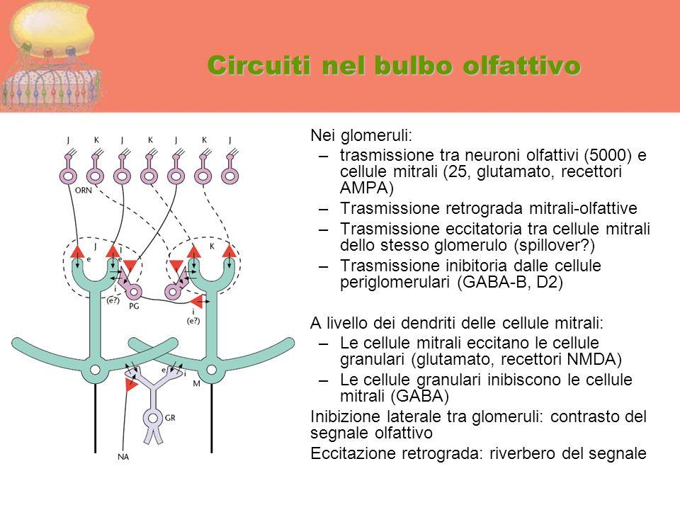 Circuiti nel bulbo olfattivo Nei glomeruli: –trasmissione tra neuroni olfattivi (5000) e cellule mitrali (25, glutamato, recettori AMPA) –Trasmissione