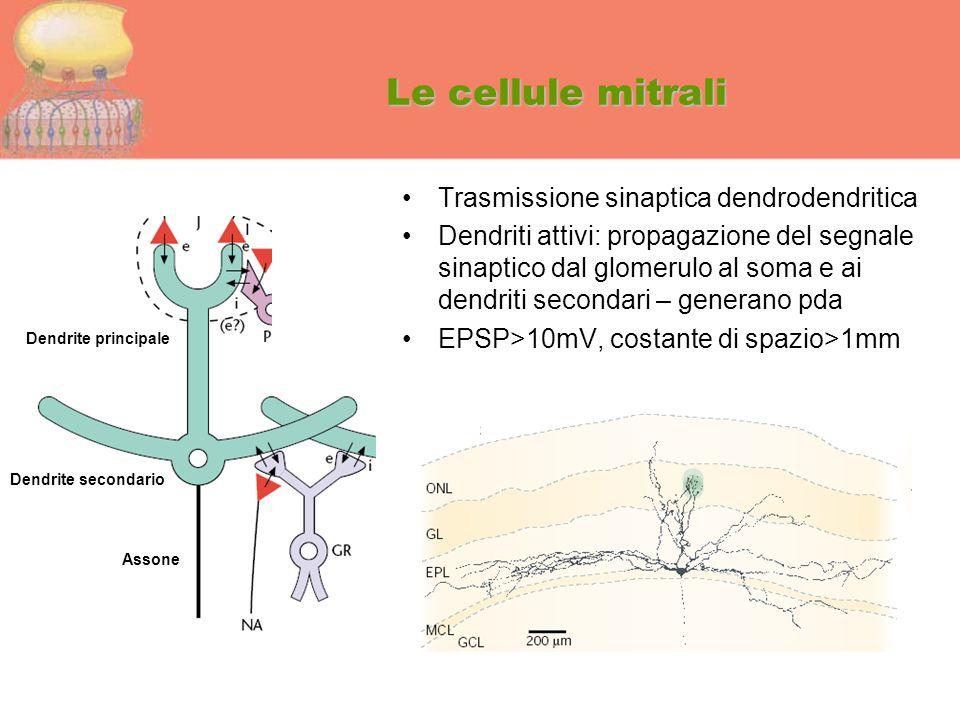 Le cellule mitrali Trasmissione sinaptica dendrodendritica Dendriti attivi: propagazione del segnale sinaptico dal glomerulo al soma e ai dendriti sec