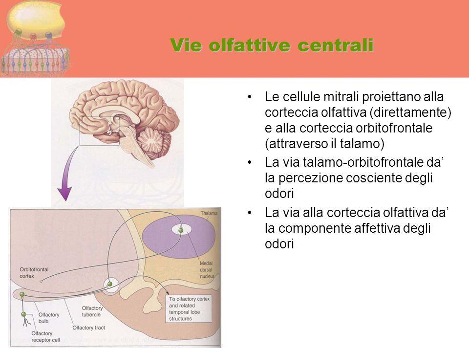 Vie olfattive centrali Le cellule mitrali proiettano alla corteccia olfattiva (direttamente) e alla corteccia orbitofrontale (attraverso il talamo) La