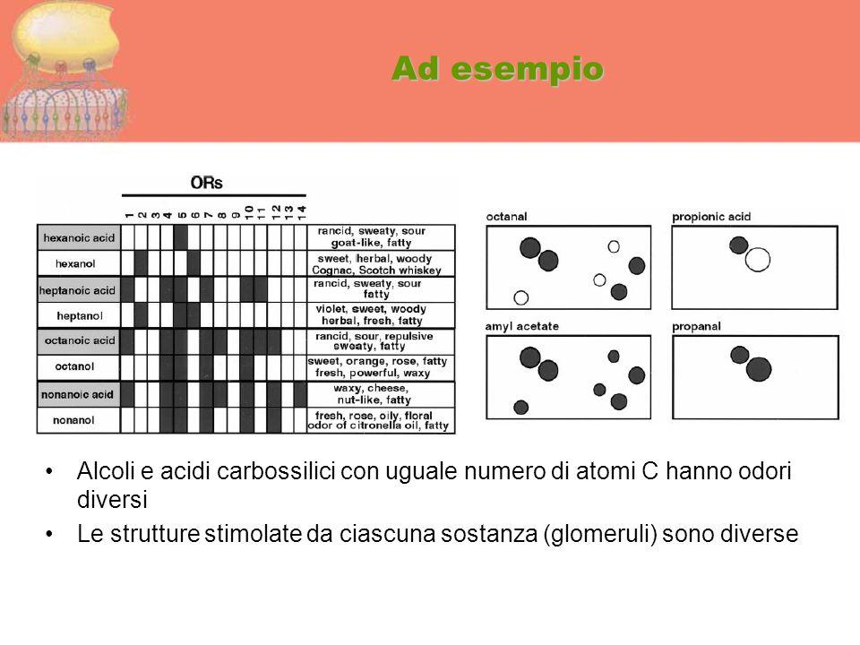 Ad esempio Alcoli e acidi carbossilici con uguale numero di atomi C hanno odori diversi Le strutture stimolate da ciascuna sostanza (glomeruli) sono d