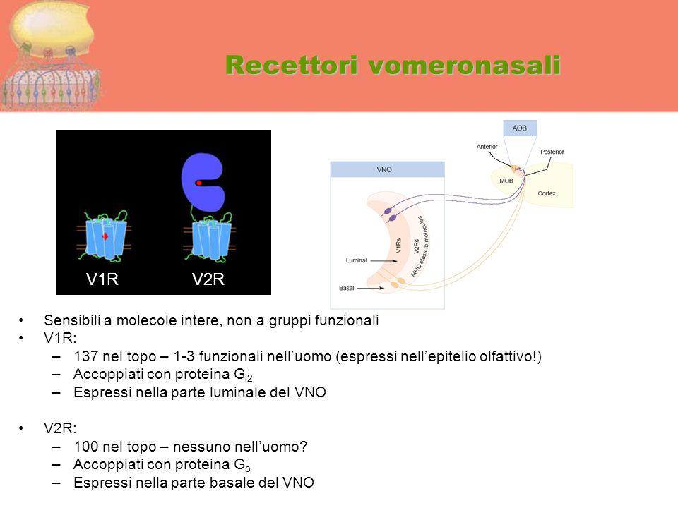 Recettori vomeronasali Sensibili a molecole intere, non a gruppi funzionali V1R: –137 nel topo – 1-3 funzionali nell'uomo (espressi nell'epitelio olfa