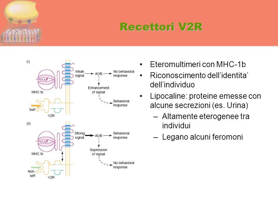 Recettori V2R Eteromultimeri con MHC-1b Riconoscimento dell'identita' dell'individuo Lipocaline: proteine emesse con alcune secrezioni (es. Urina) –Al