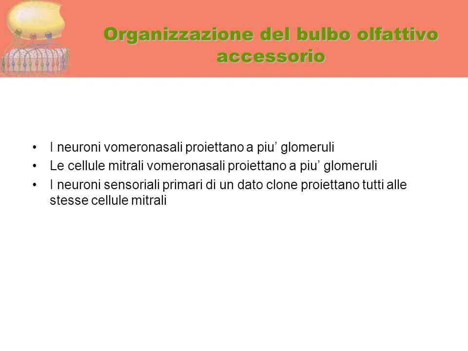 Organizzazione del bulbo olfattivo accessorio I neuroni vomeronasali proiettano a piu' glomeruli Le cellule mitrali vomeronasali proiettano a piu' glo