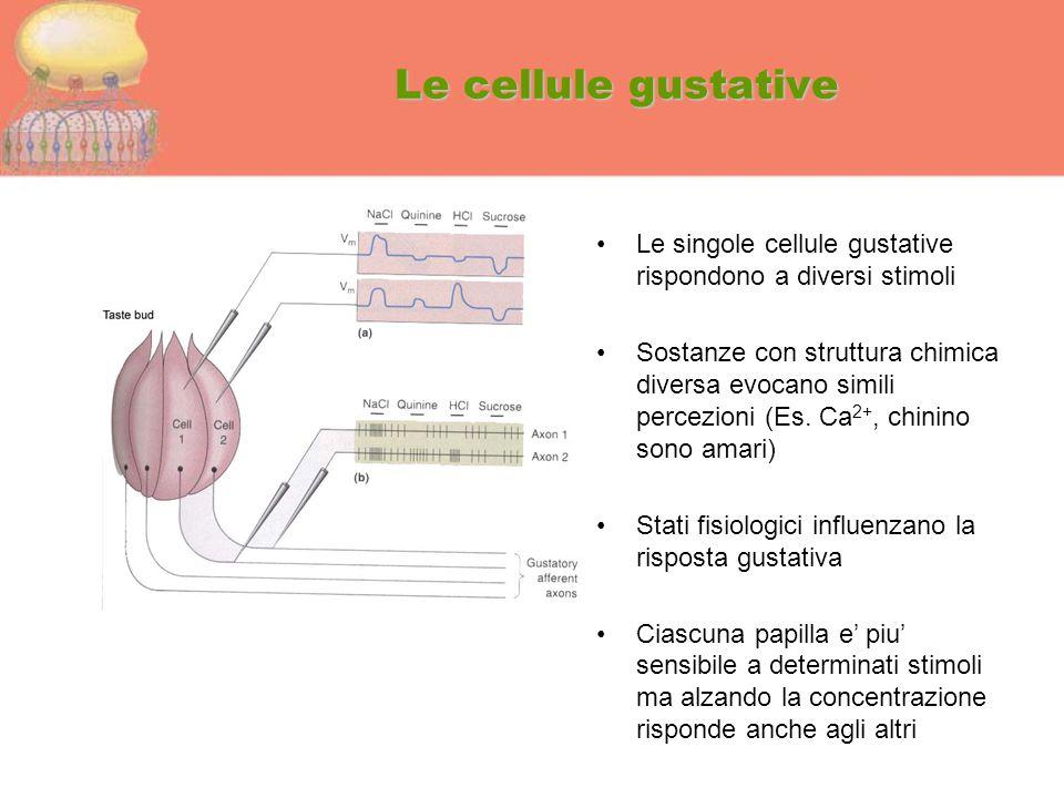 Le cellule gustative Le singole cellule gustative rispondono a diversi stimoli Sostanze con struttura chimica diversa evocano simili percezioni (Es. C
